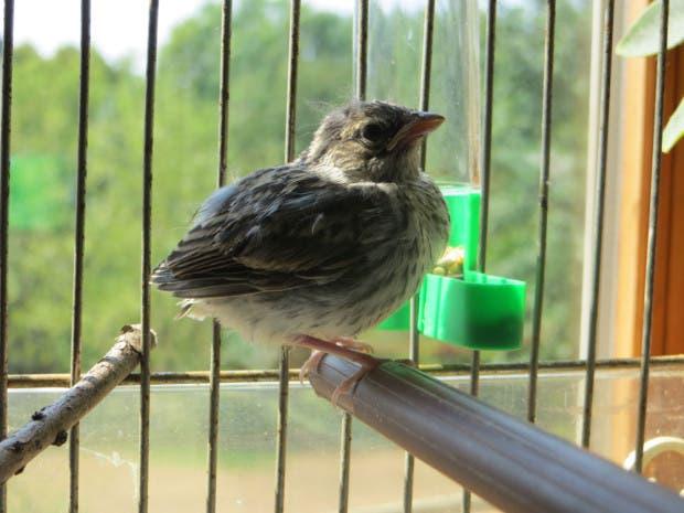 rescued_songbird_13