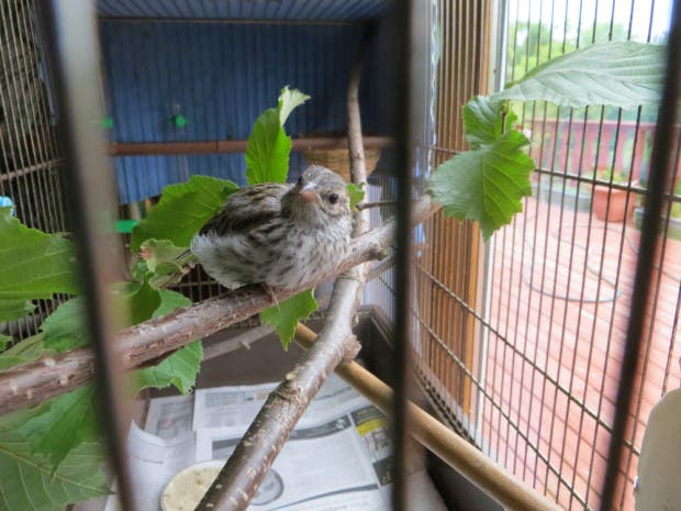 rescued_songbird_15