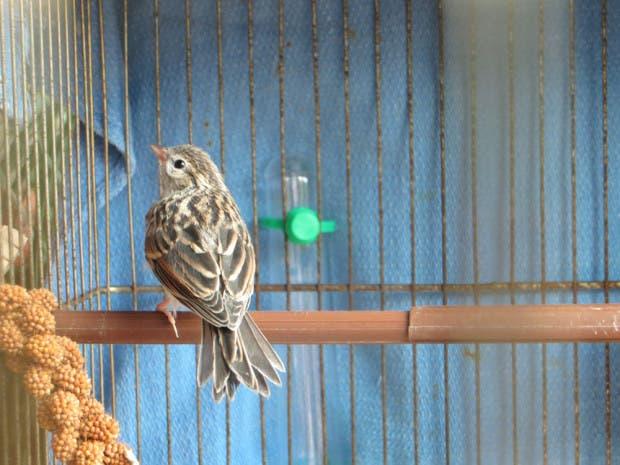 rescued_songbird_17