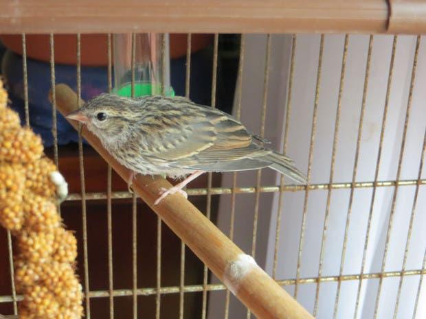 rescued_songbird_18