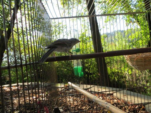 rescued_songbird_22