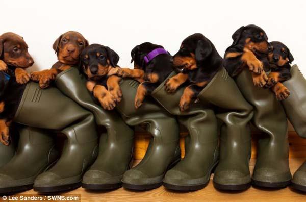 doberman cachorros botas