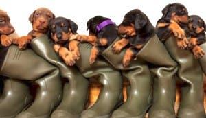 doberman-tiene-muchos-cachorros