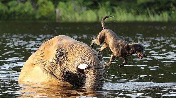 dog-elephant3