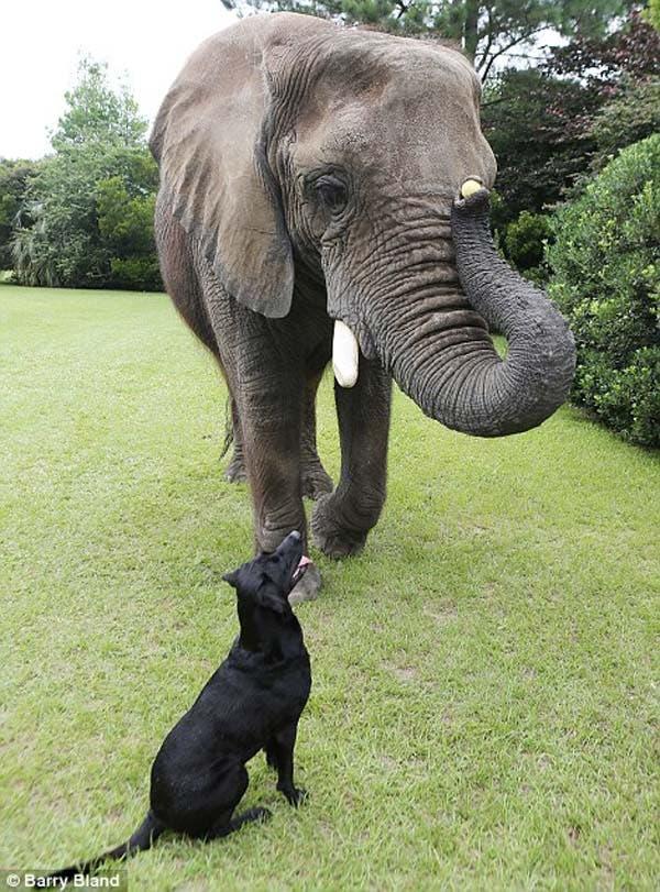 dog-elephant7