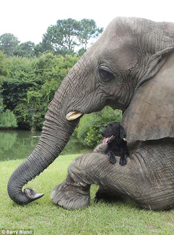 dog-elephant8