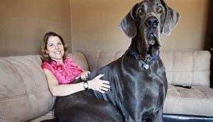 george-perro-gigante