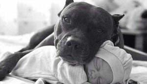 pitbull-bebe-carinoso