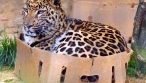 tigre-en-caja