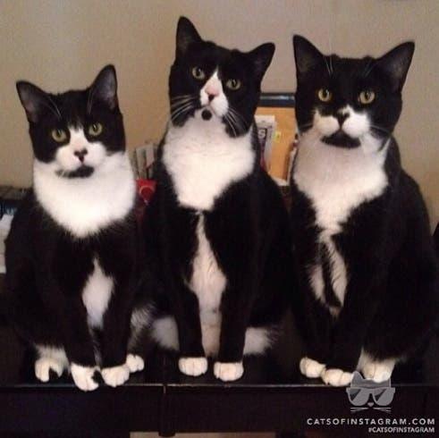 tuxedo trio 1a