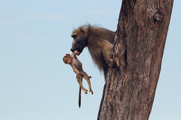 baby-baboon10