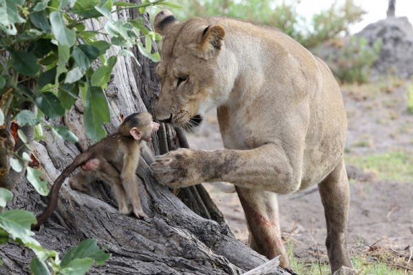 baby-baboon4