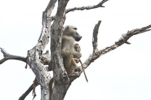 baby-baboon9
