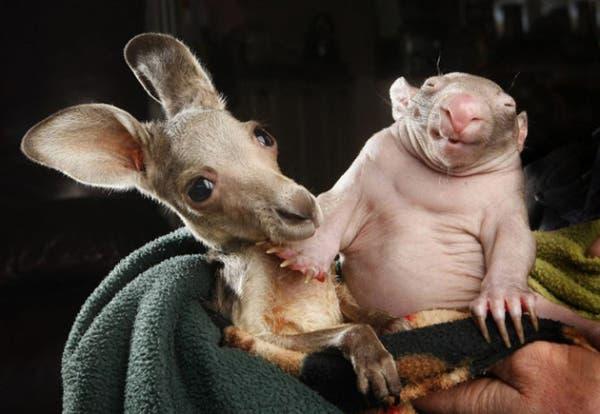 kangaroo-wombat