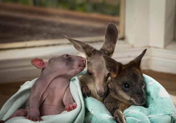 kangaroo-wombat10