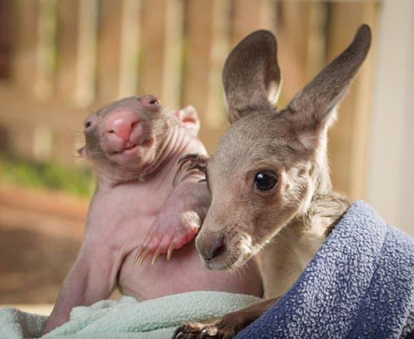 kangaroo-wombat2