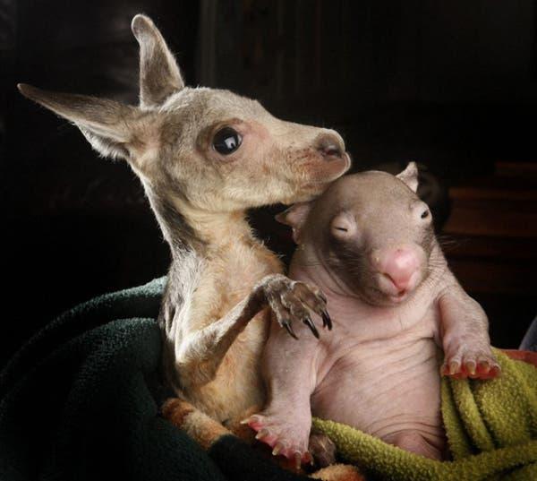 kangaroo-wombat3
