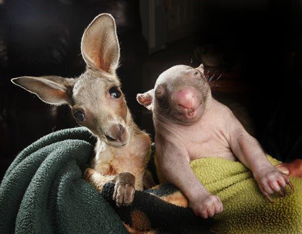 kangaroo-wombat4