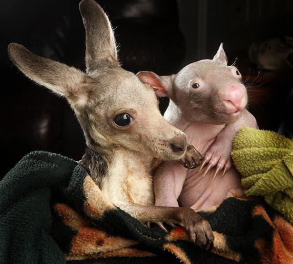 kangaroo-wombat6