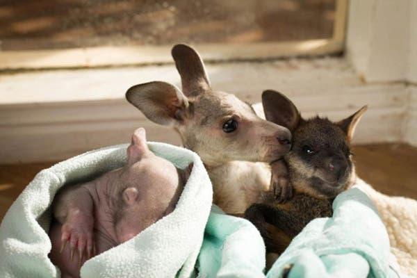kangaroo-wombat9