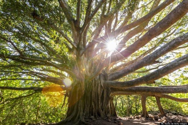 o-BANYAN-TREE-MAUI-900
