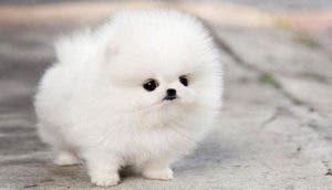 perrito-blanco-esponjoso