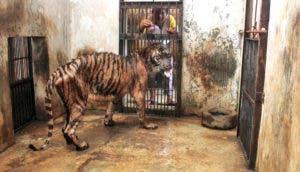 tigre-moribundo-delgado-zoo-muerte