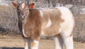 vaca-esponjosa-peluda