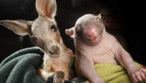 wombat-canguro-amigos