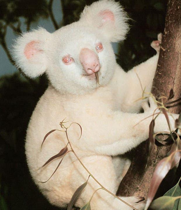 Koala-blanco