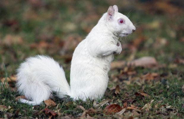 ardilla-blanca