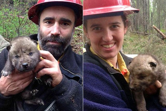 bomberos-rescatan-lobos-incendio-alaska