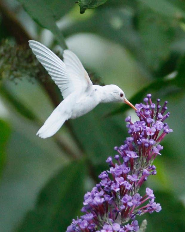 colibri-blanco