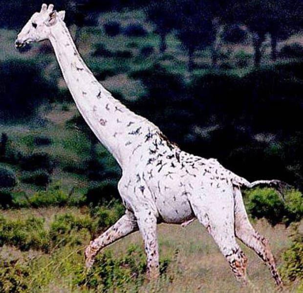 jirafa-albina