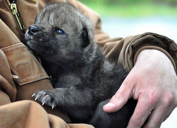 lobos-rescatados-incendio-Funny-River-alaska