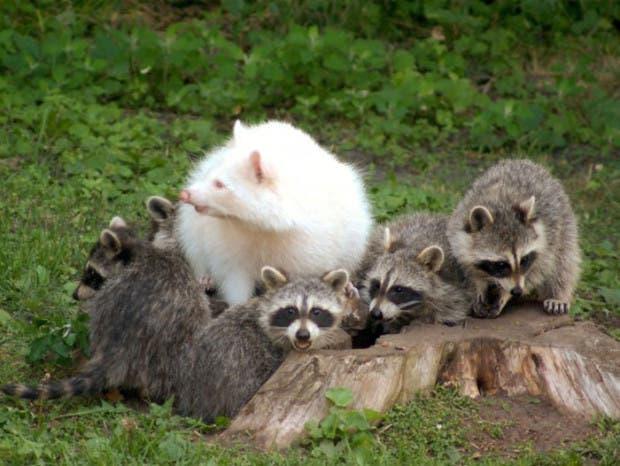 mapache-albino
