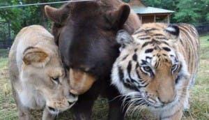osos-con-tigre