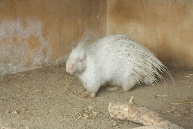 puescoespin-albino