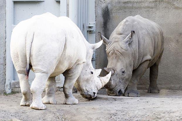 rinoceronte-albino