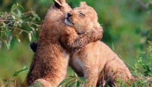 tigres-cachorros-abrazo