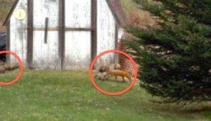 zorros-escondidos-cobertizo