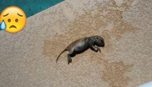 ardilla-piscina-rescatada