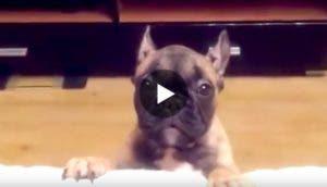 cachorro-bulldog-pide-play