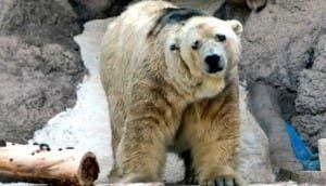 oso-polar-arturo
