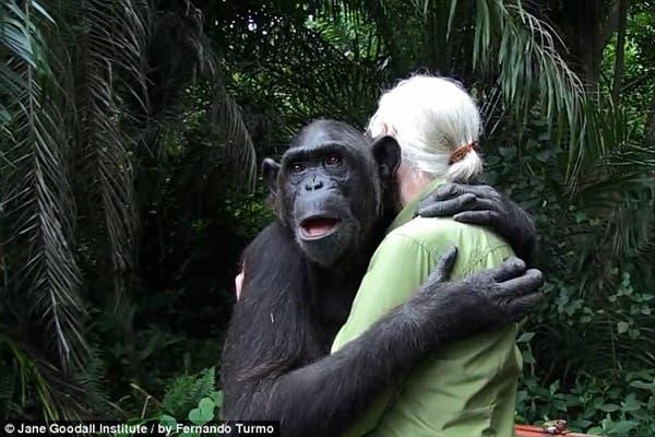 salvando un chimpancé