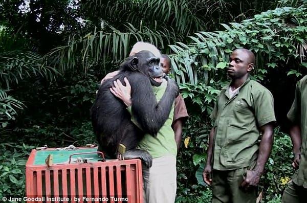 salvando un chimpancé1