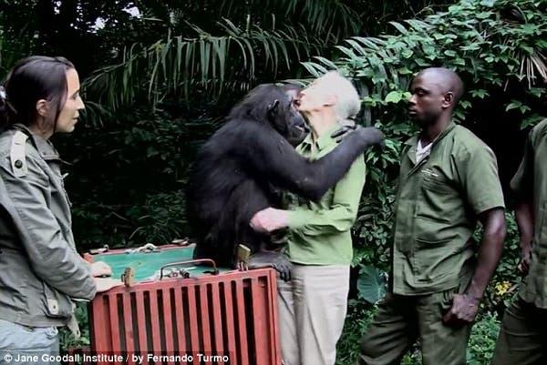 salvando un chimpancé10
