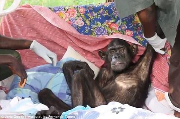 salvando un chimpancé11