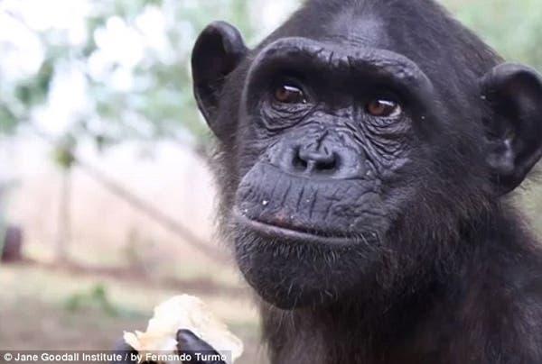 salvando un chimpancé12