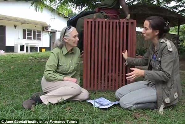 salvando un chimpancé13
